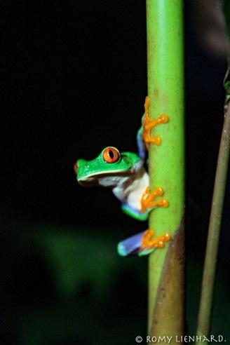frosch längs