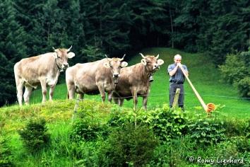 alphorn und 3 kühe